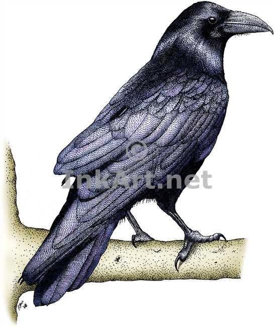 Drawn raven common raven Stock common Illustration Common raven