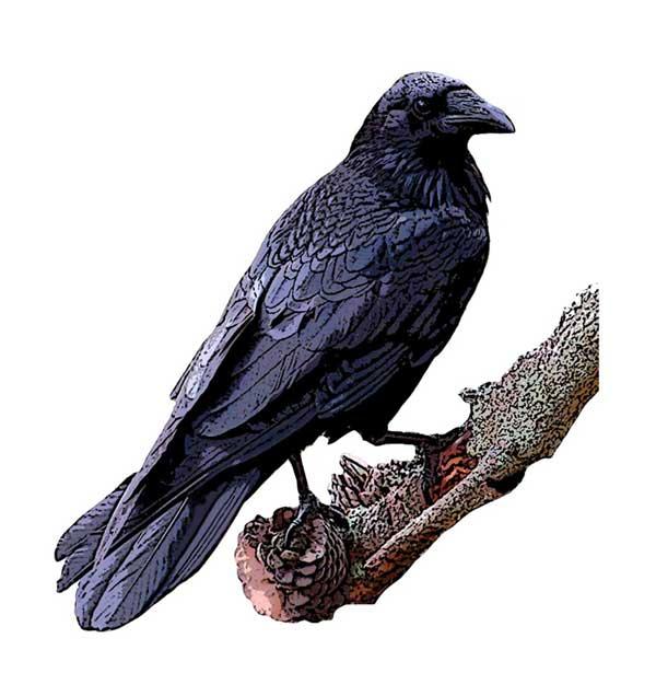 Drawn raven common raven Common Project raven Bird Geographic