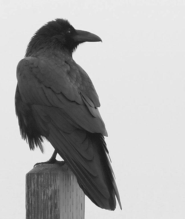 Drawn raven common raven  Common corax Corvus —