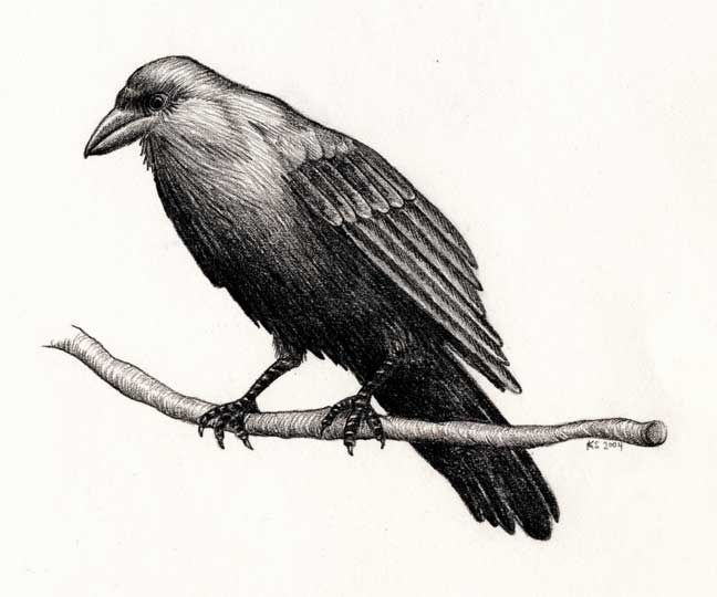 Drawn raven common raven Common Drawing raven Raven Common