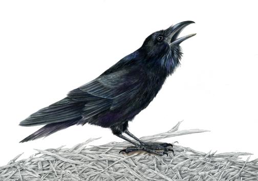 Drawn raven common raven Corvus Common Natrual Common Illustration