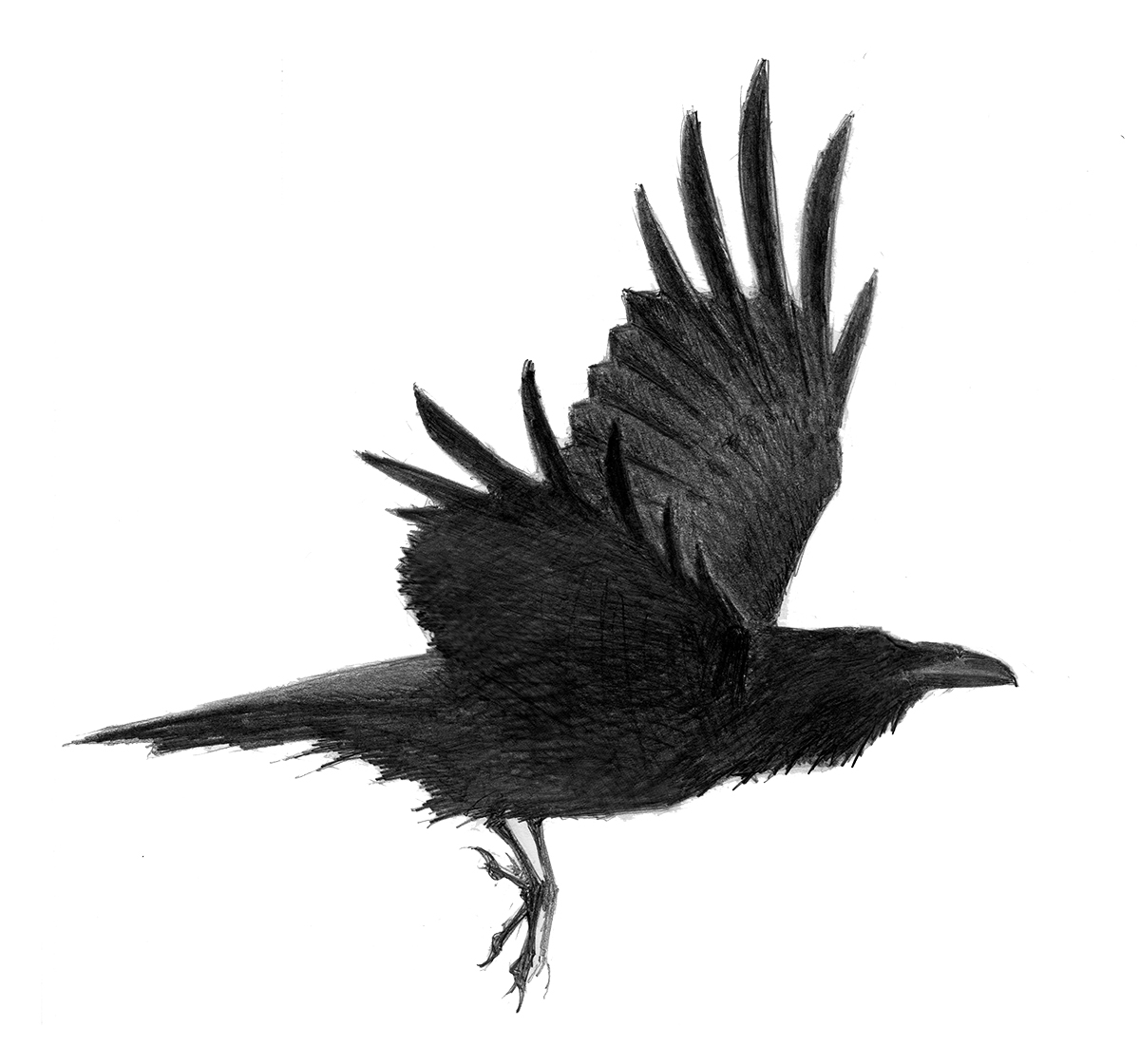 Drawn raven common raven 3 Common Raven flight</b> Raven