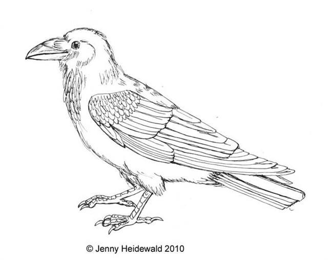 Drawn raven common raven EMG your