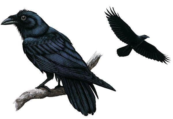 Drawn raven common raven Raven Bird bird Raven Drawing