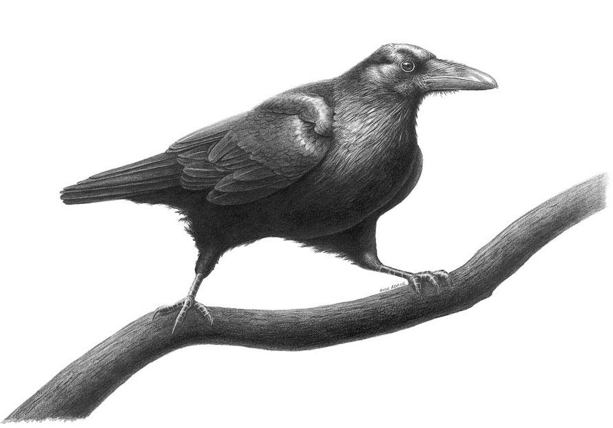 Drawn raven common raven Raven Drawing Study Art Raven