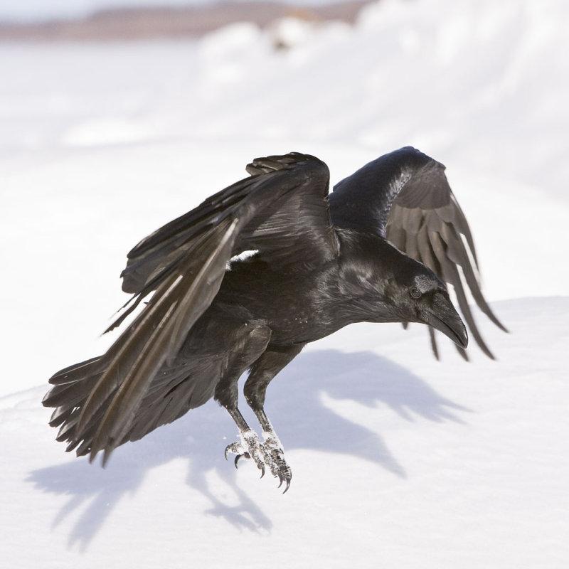 Drawn raven common raven  raven landing_2 Ravens Crows
