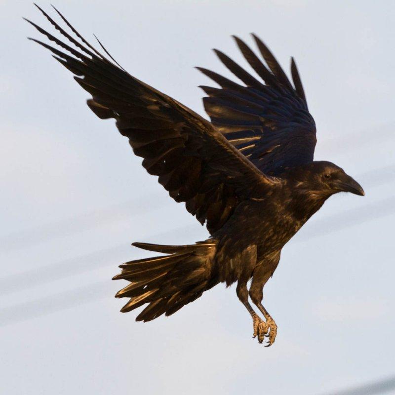 Drawn raven corvus corax Ravens Common by Ravens Paul