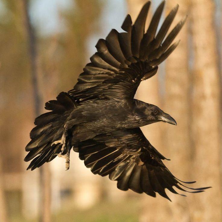 Drawn raven corvus corax Ravens Best Pinterest 25+ Paul