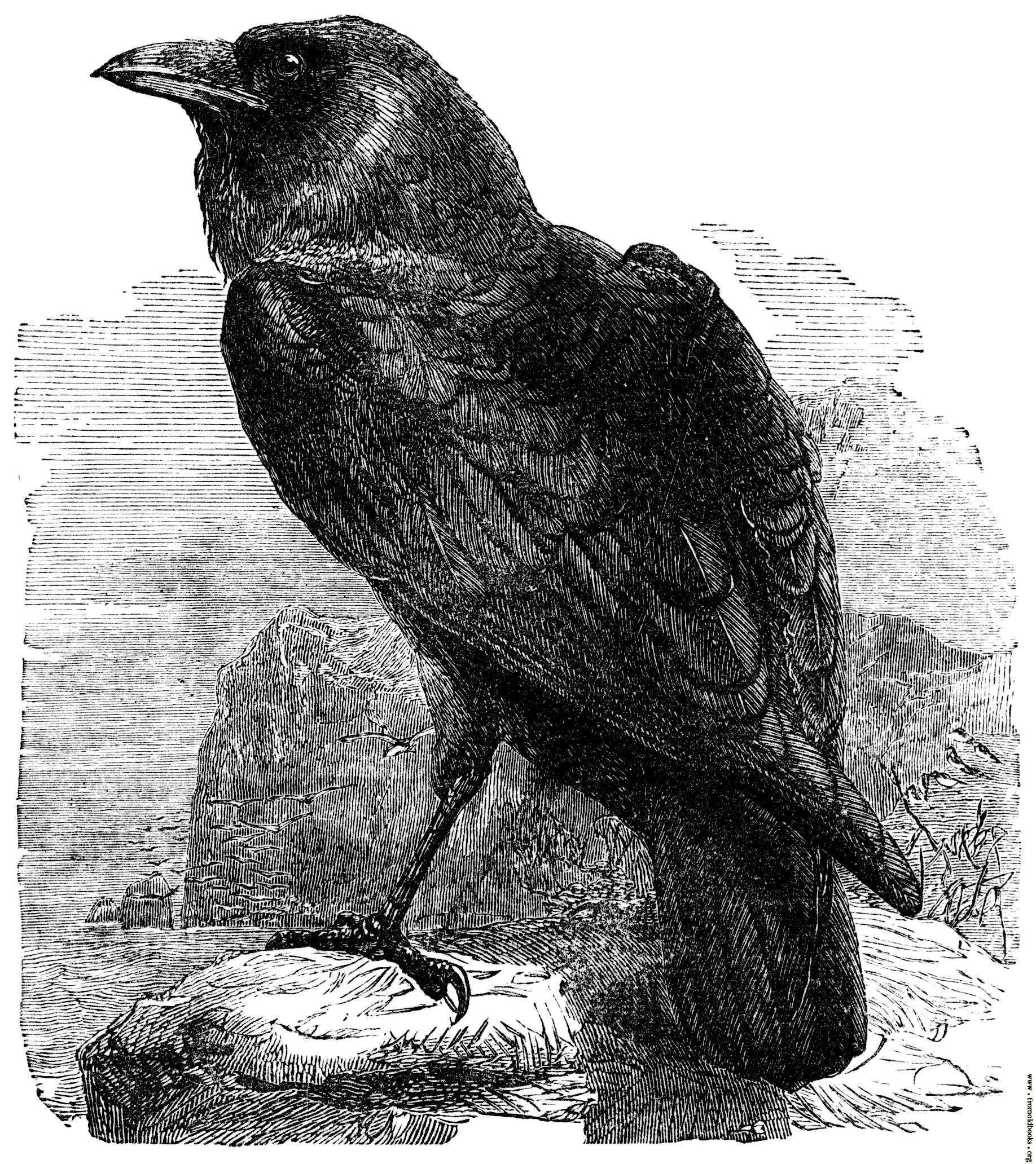 Drawn raven corvus corax 774K (Corvus Corax) 1836x2064 The