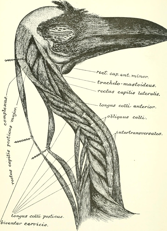 Drawn raven corvus corax Myology to (Corvus to File:The