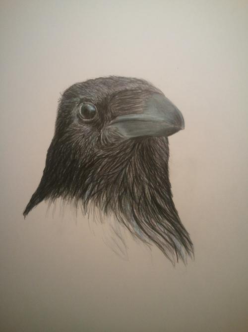 Drawn raven corvus corax Raven and Corvus Story on