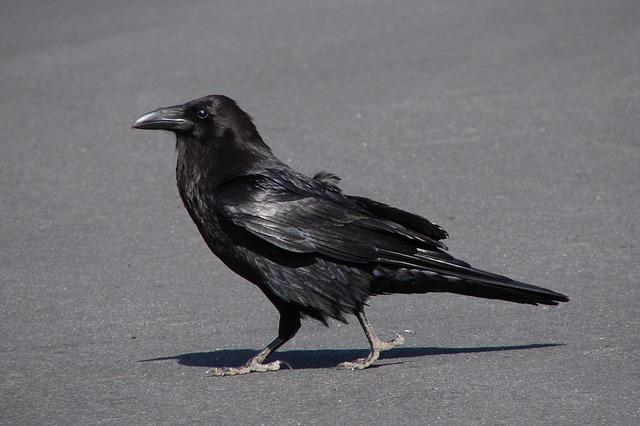 Drawn raven creepy Creepy dig Free raven Download