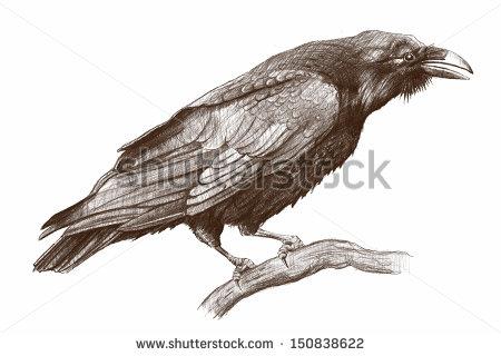Drawn raven crow beak Google zoeken drawing Ravens drawing