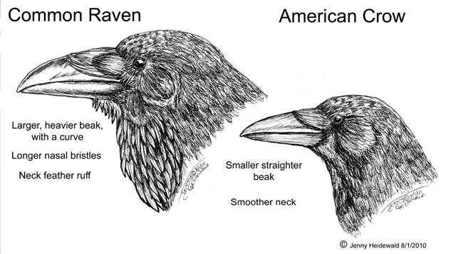 Drawn raven crow beak Zine Ravens EMG