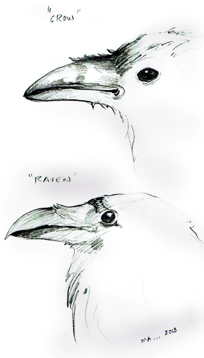 Drawn raven crow beak Conservation the interesting ravens as