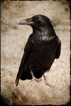 Drawn raven dead Pinterest vol tattoo having BlackbirdsCrows