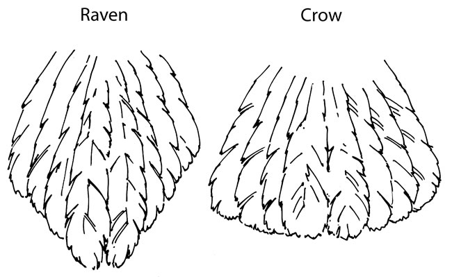Drawn raven feathered Crow and Raven vs NatureMapping