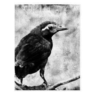 Drawn raven grackle On Gifts Young Postcard Grackle