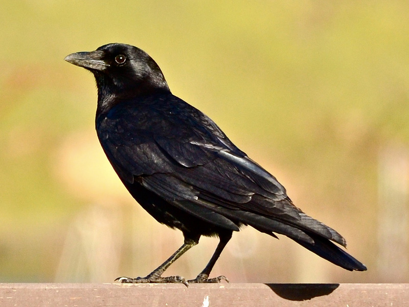 Drawn raven grackle 2014 Great May via Tanner