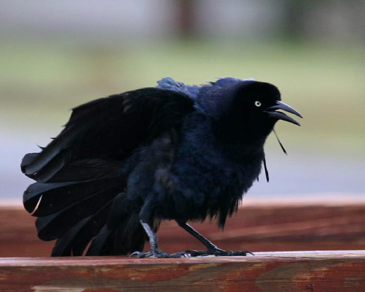 Drawn raven grackle Love The  Crows Show