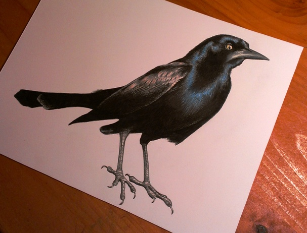 Drawn raven grackle Feathers with in colored a