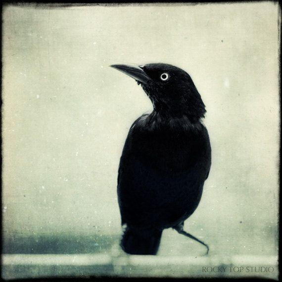 Drawn raven grackle Decor Grackle 148 Fine Photography