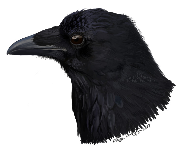 Drawn raven head Head of a by crow