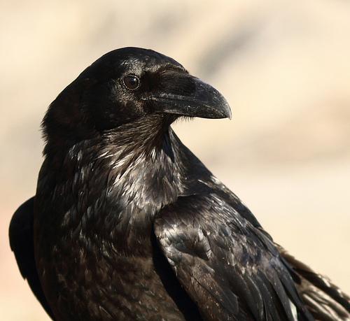 Drawn raven head Raven Paulvinceclark ice by Raven