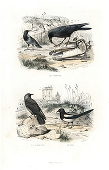 Drawn raven jackdaw Magpie Raven Raven Images Getty