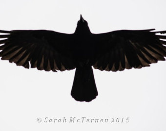 Drawn raven open wing Photograph by Flight Photography Art