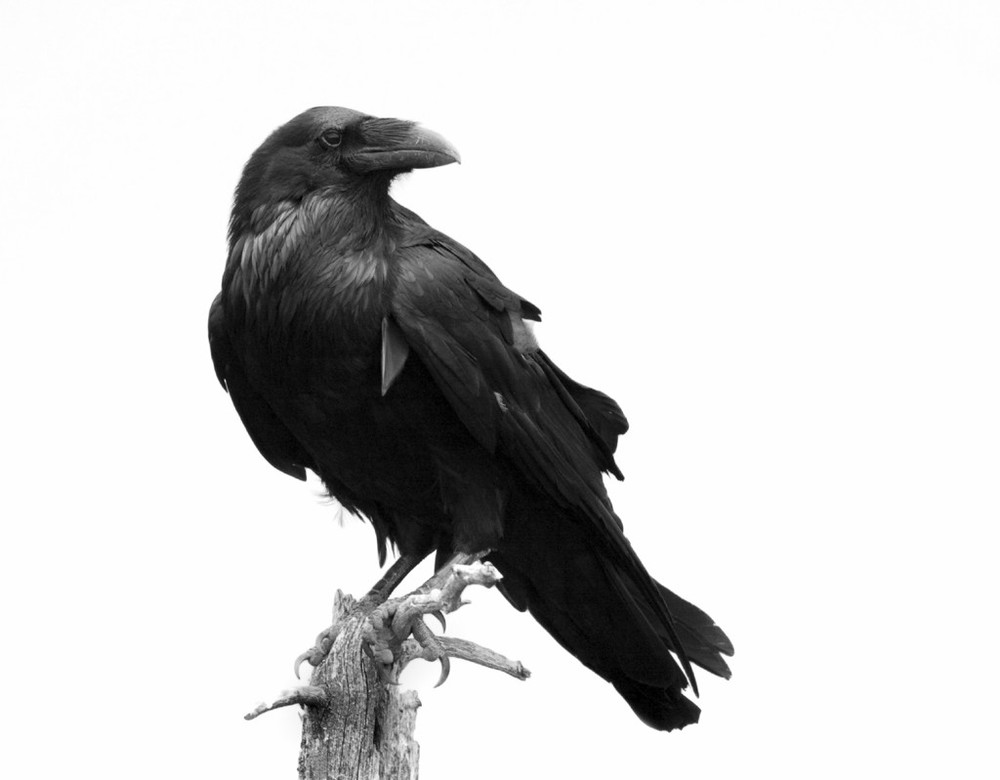 Drawn raven perched Pinterest Google Search raven images