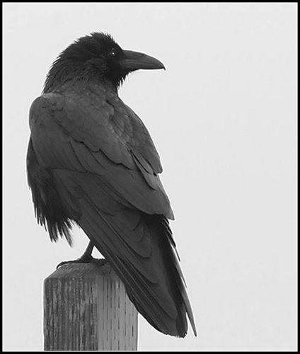 Drawn raven perched Ideas Best amkhosla Common Raven
