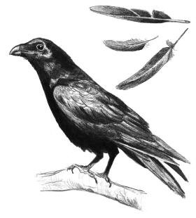 Drawn raven raven feather Raven for Life and The