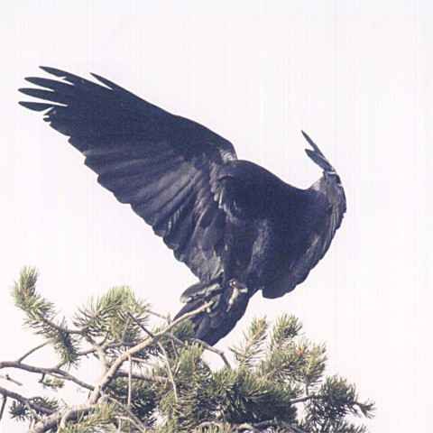 Drawn raven raven landing The of and Photograpgs ravens