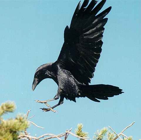 Drawn raven raven landing Raven photo#10 Raven landing Landing