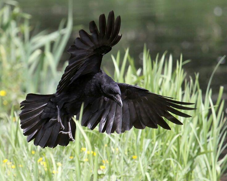 Drawn raven raven landing Rave best images raven Pinterest