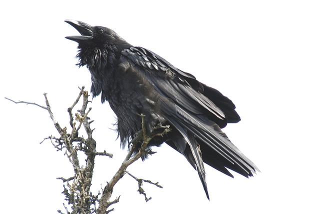 Drawn raven raven landing Yukon raven a on Raven