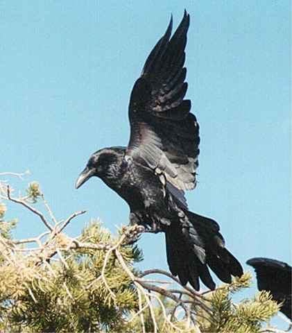 Drawn raven raven landing And That the landing