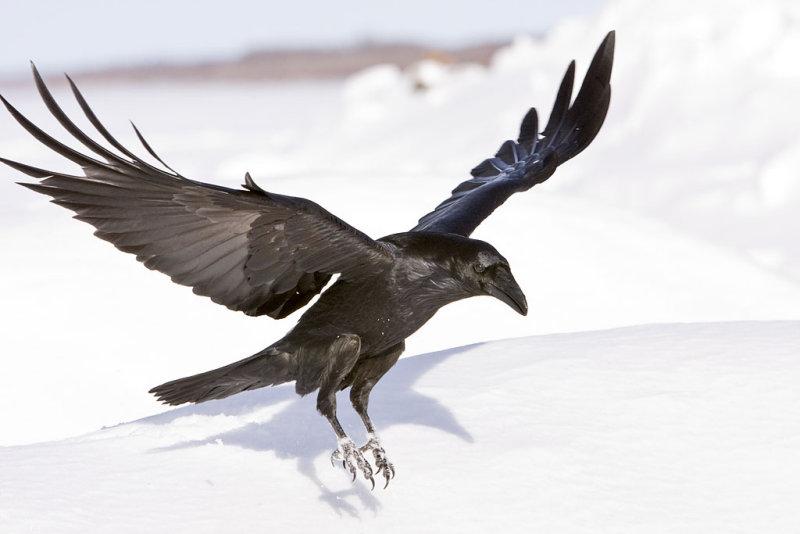 Drawn raven raven landing Raven raven landing wings up