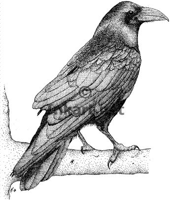 Drawn raven realistic Bird images Tattoo raven 48