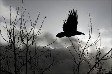 Drawn raven shadow SHADOWS (Tucson Intuitive SHADOWS Animists