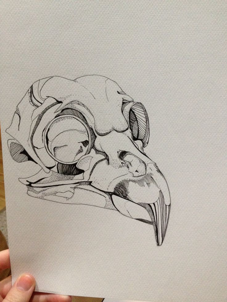 Drawn raven skull I  Skull Bird drawing
