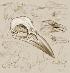 Drawn raven skull CROW  drawing) (digital by