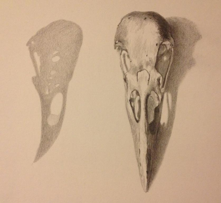 Drawn raven skull Visual Schofield Caroline of Artist