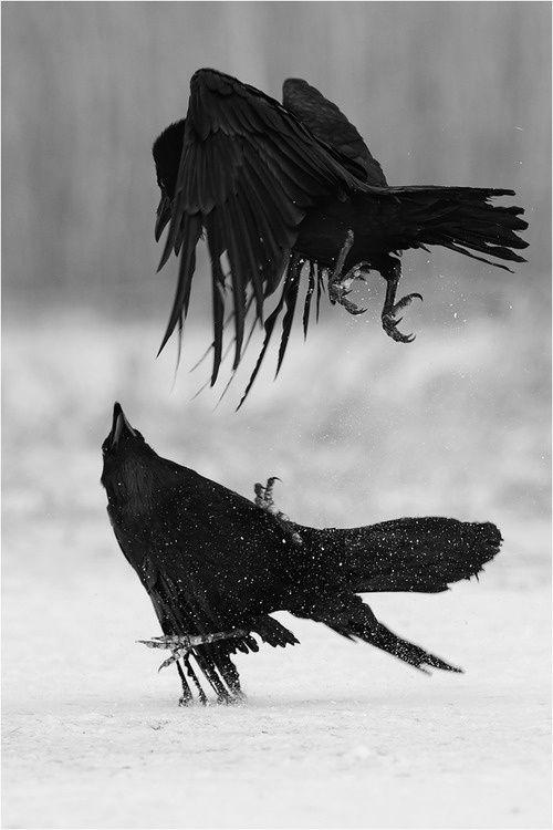 Drawn raven snow 1298 & Fav & Crows