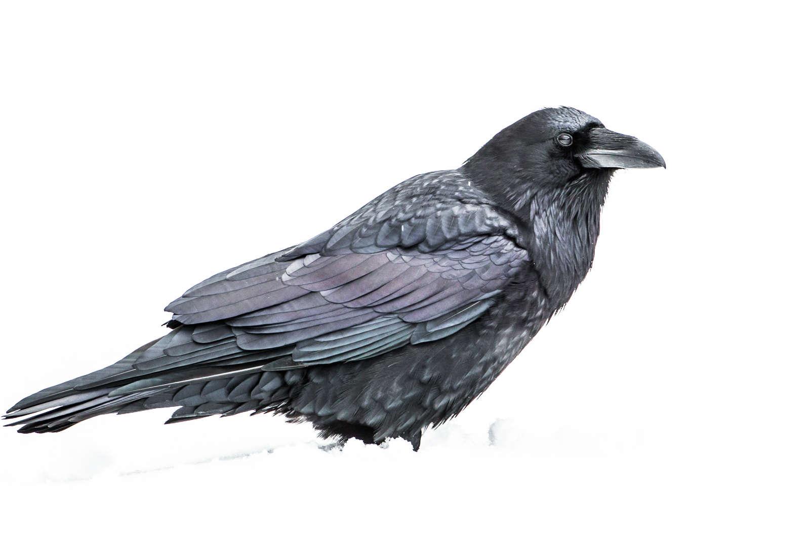 Drawn raven snow The Ravens Photography snow Martin