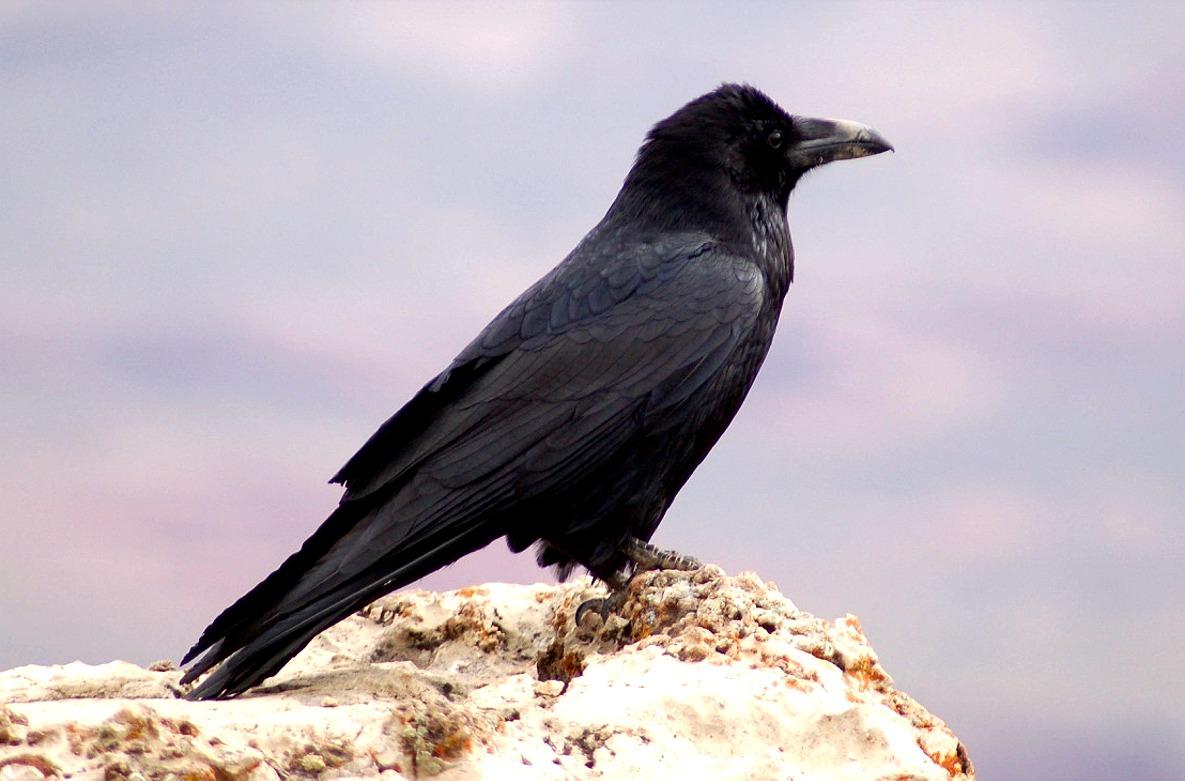Drawn raven snow Photo from Birdly Birds Drawn:
