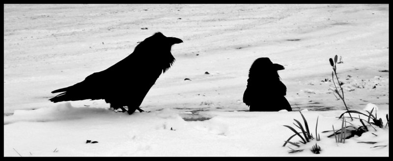 Drawn raven snow By The ravens on the