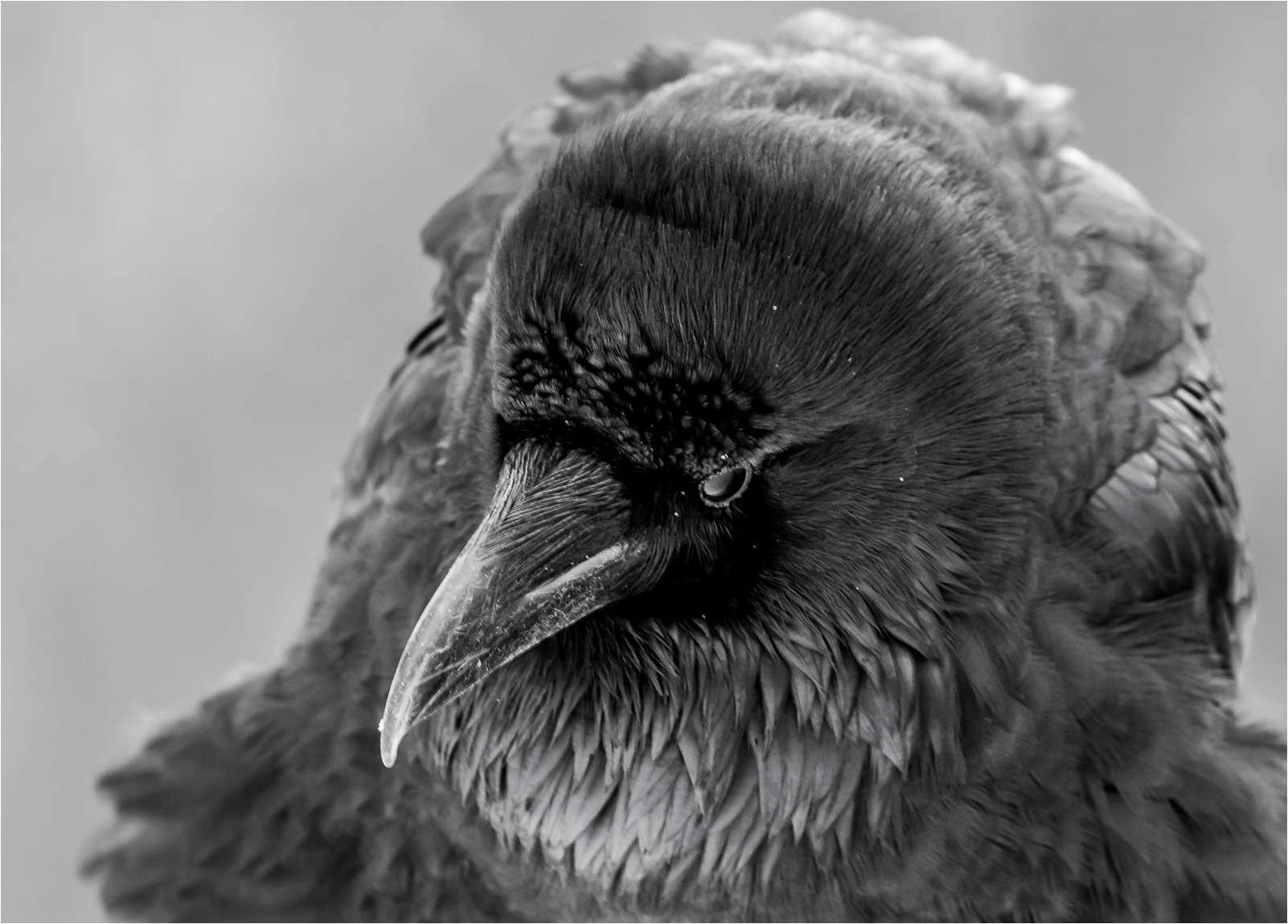 Drawn raven winter Christopher Sharing Photography Ravens Martin