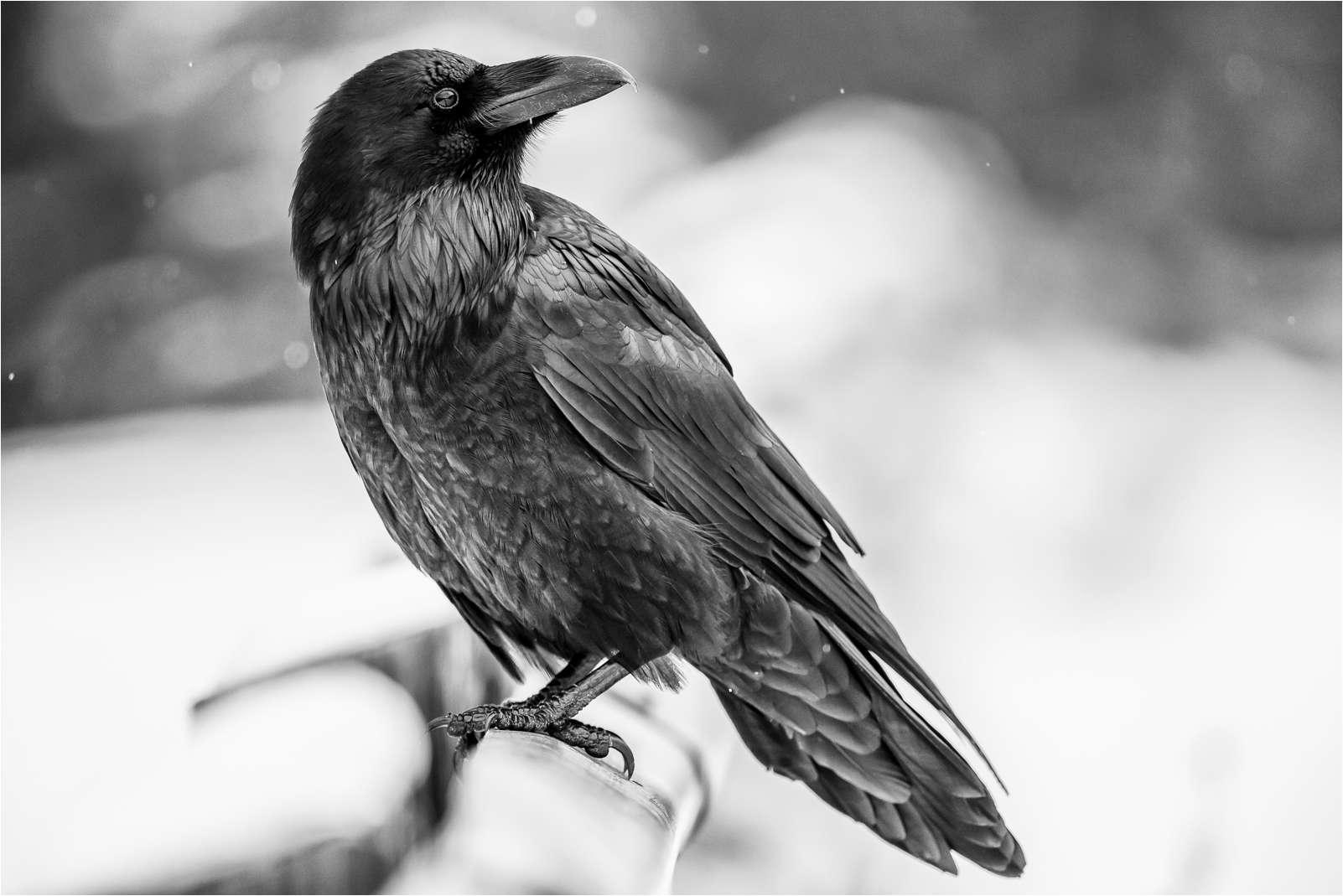 Drawn raven winter Christopher When Photography Ravens Martin
